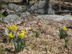 Daffodils in the backyard