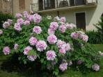 peonia in primavera