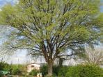 The oak in April