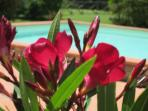 The oleander and pool