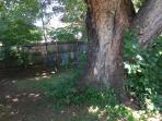 Beautiful state record size sugar maple makes the back yard refreshing shade in summer's heat.