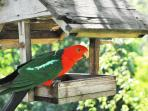 Feeding king parrots at Brentwood B and B Apartments.