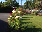 Our roses in full bloom