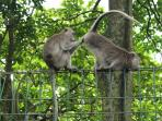 Sacred monkey forest, 5 min drive from our door.