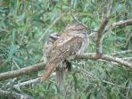 Two Tawny-Frogmouth Owls, resting in the trees