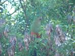 King Parrot resting after his feed