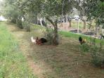 Gallo e galline al pascolo nell'uliveto