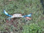 Blue crab caught in the bay just across the road, crab trap in toy cage.