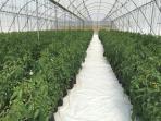 Greenhouse tomato farming