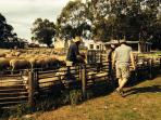 Experience a working sheep farm