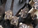 You will see a lot of these little ones, Coatimundis, they love to beg