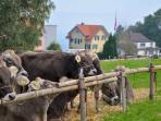 Viehschau