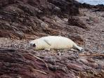 A sleepy seal pup on Garvault Bay, part of Carskiey Estate and just minutes away from Shore Cottage.