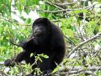 Howler monkey - Nature jungle hike