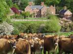The main house with Garden Cottage to the right and our lovely Jersey cows!