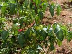 Tomato in our garden