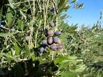 Details of our fruits: olives, species for olive oil