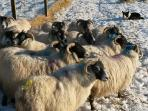 Some of our Scottish Blackface sheep with the dog. We live on a working croft.