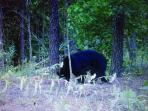 Bear caught on game camera 2 miles from the house