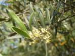 Olive flowers blooming in May