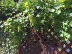 Grape vines on trellis by kitchen patio