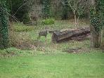 Occasional deer visit the garden areas
