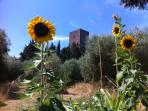 Sunflowers and the Tower