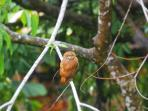 This little pygmy owl visiting   your patio!