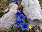 Wild enzian (gentian) in the mountains