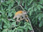 Titi monkey visit your terrace looking in the trees for bugs and fruit