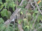 Guanabanas (soursop) fruit ripens in May/June