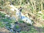 Majestic Cheddar Goat in the evening sun. Goats roam freely through the Gorge.