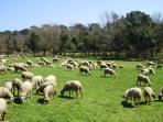 nuestro rebaño de ovejas