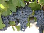 sangiovese grapes for our wine