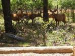 Gathering of buck deer just 25 feet from deck