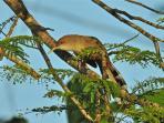 PR Lizard Cuckoo (Coccyzus vieilloti)