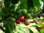 Coffee growing in our garden