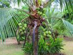 Coconuts. Just ask us to cut one down and taste a 'pipa' as the locals call it.