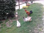 galline e gallo