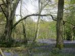 The Forest has a lovely bluebell carpet