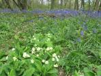 Bluebells and primroses so pretty in the New Forest
