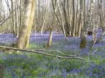 Bluebell woods near to cottage