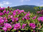 Near by Roan Mountain in Bloom a great place to visit during your stay