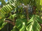 Banana Trees Backyard