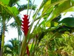 Haleconia lobster claws are among the numerous island foliage in the lush garden!