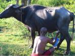 Milking of the cows, we can provide fresh milk.