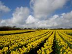Field of Daffodils at Penryn