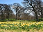 Daffodils at Bodnant Garden