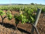 viñedos de los alrededores de l'Arboç