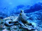 Pulpo en el fondo marino